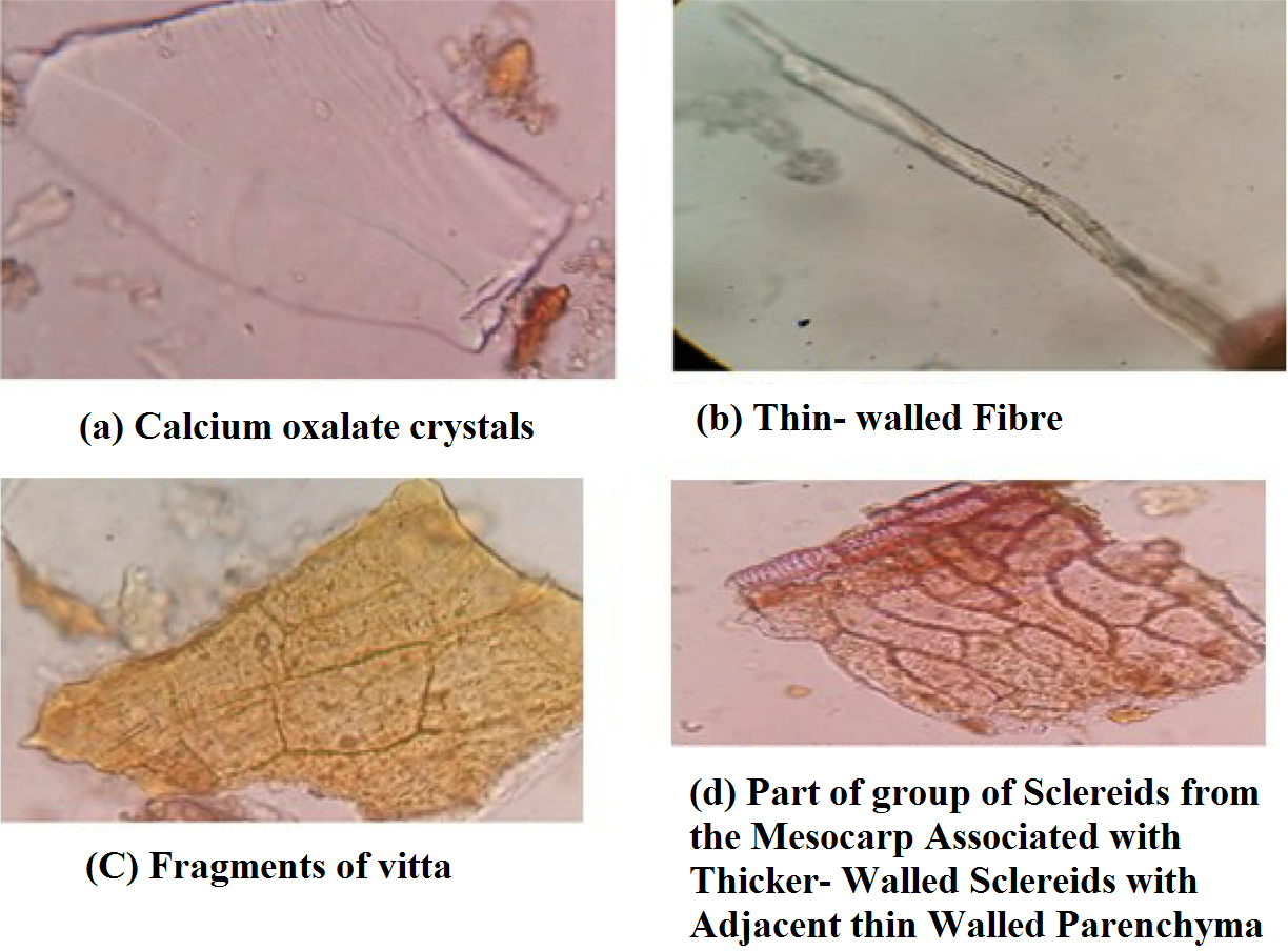 Figure 1: Shows the Observation of Various Powder Characters of Fruits of Bunium persicum with (a) Calcium Oxalate Crystal (b) Thin- Walled Fiber (c) Fragments of Vitta and (d) Part of Sclereids from the Mesocarp Associated with Thicker- Walled Sclereids with Adjacent thin Walled Parenchyma