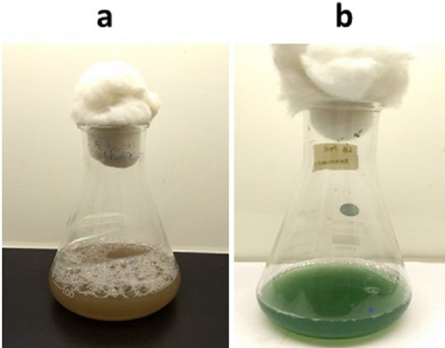 Figure 1: (a) Foam formation confirming the production of biosurfactant in LB broth. (b) Green pigmentation confirming the production of pyocyanin in LB broth