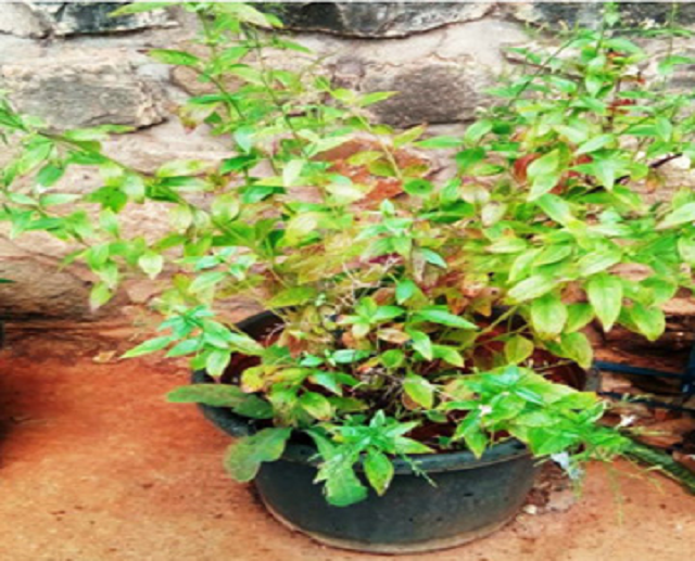 Figure 1: Andrographis paniculata (Acanthaceae)